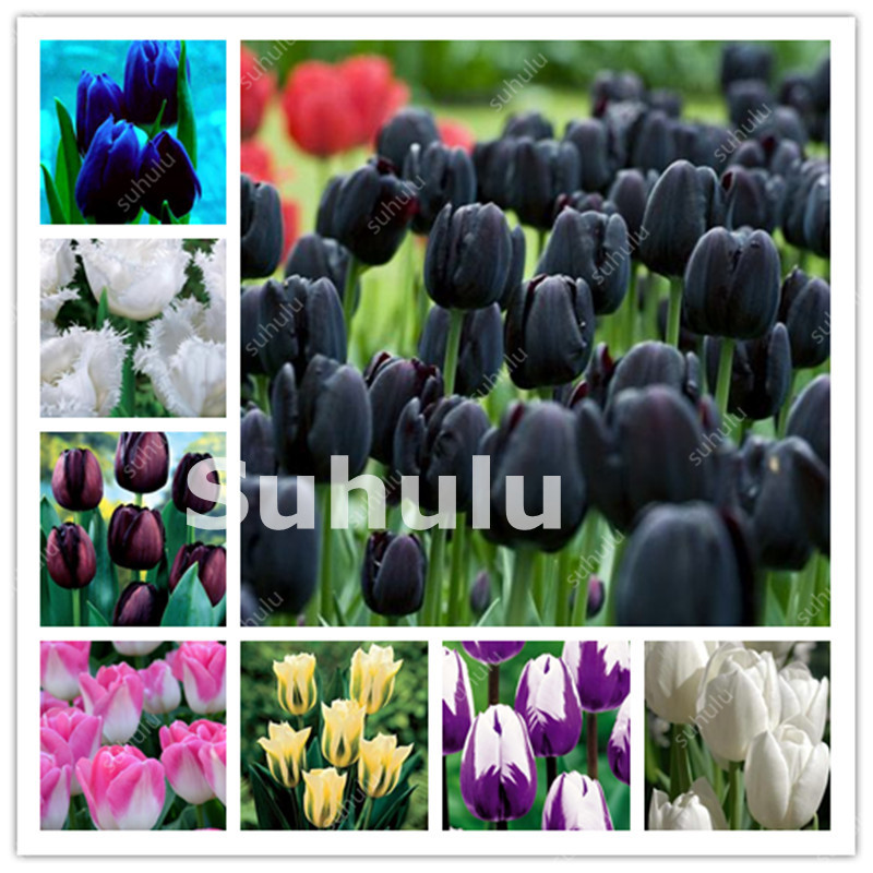 100 Pcs Hot Rainbow Tulip Bonsai Not Bulbs As Ice Cream Rare Flowers Perennial Plants Gift For Home Beautify Garden Decoration