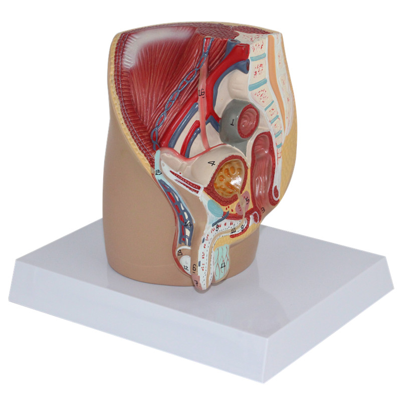 Niedlich Männliche Genitalien Diagramm Ideen - Anatomie und ...