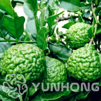 Big Promotion!30 Seed /bag ,Lemon Seeds, Potted Balcony, Planting Seasons, Sprouting 95%(Kaffir Lime),Source From Thailand