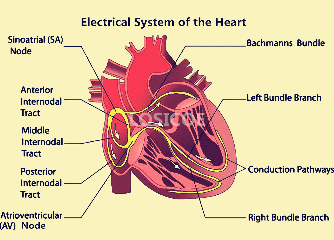 Electrical System of the Heart Medicine Human Anatomy Vintage ...