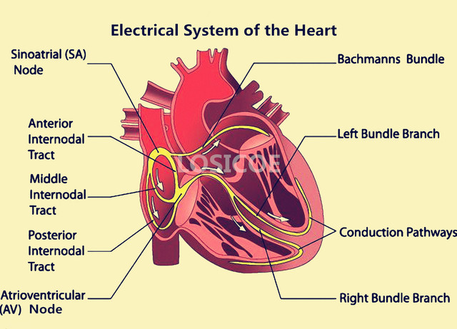 Electrical system of the heart medicine human anatomy vintage electrical system of the heart medicine human anatomy vintage posters kraft paper wall sticker hospital classrooms ccuart Images