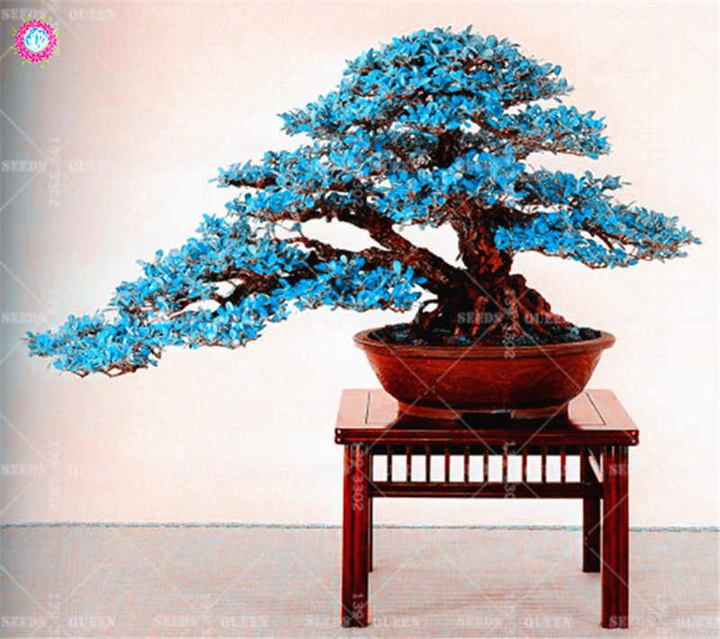 BONSAI 10pcs Blue Maple Tree Rare Japanese Maple Tropical Indoor Bonsai  Tree Ornamental Potted Plants for Home Garden Decoration