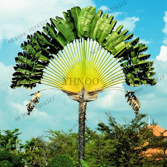100pcs/bag Ravenala madagascariensis Travelers Palm seeds ...