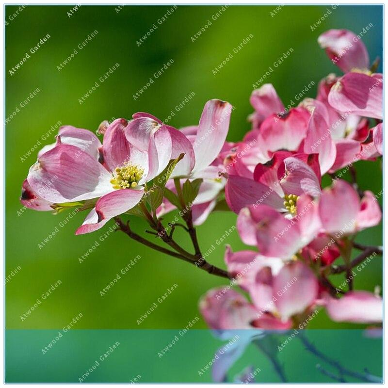 ZLKING 10 шт./пакет Сердолик Кизил горшках Cornus дерево бонсай завод для дома и сада