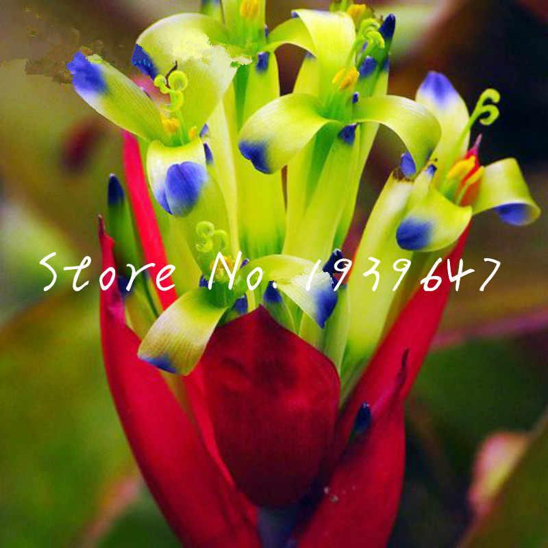 شحن مجاني 100 قطعة Bromeliad Tillandsia بونساي عصاري الطازجة الهواء مصنع كسول النباتات بونساي للمنزل حديقة جدا سهلة تزايد