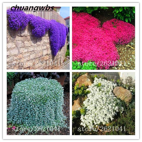 100pcs/bag Creeping Thyme Seeds or Blue ROCK CRESS Seeds - Perennial Ground cover flower seed,Natural growth for home garden
