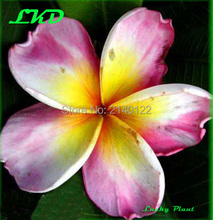 Plumeria rubra Plants Rooted 7-15 inch Frangipani Flower Daisy Bonsai Tree Plumeria Plants no17-angelcrow