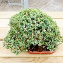 Juniper Bonsai Tree  Office Bonsai Plant Purify The Air Absorb Harmful Gases 20 /bag