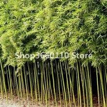 Big Sale!Bamboo Phyllostachys Pubescens Rare Giant Bamboo bonsai Bambusa Lako Tree plant For Home Garden Plant