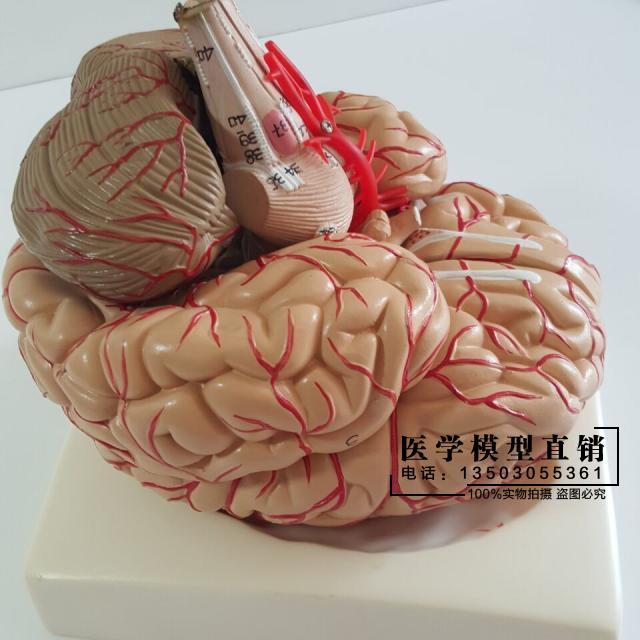 Human Brain Model Cerebrovascular Model 9 Parts Brain Anatomy Model