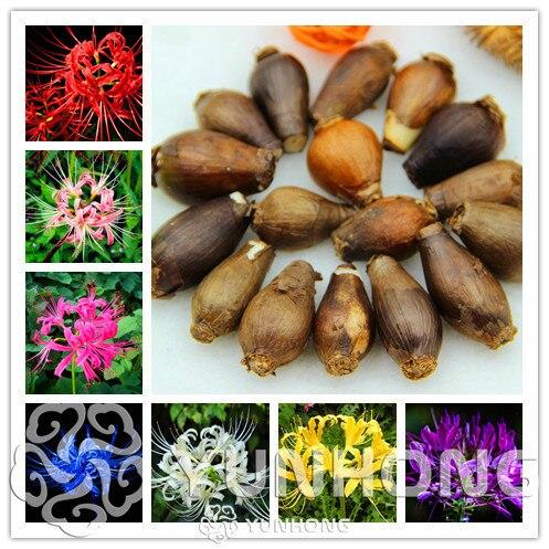 True Lycoris Bulbs,(Bonsai), Potted Plants Planting Seasons Indoor Bonsai Plant For Home Garden-2 Bulbs