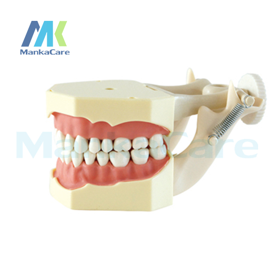 Manka Care - SF Type Study Model/32 pcs Tooth/Soft Gum/Screw fixed/ DP Articulator Oral Model Teeth Tooth Model