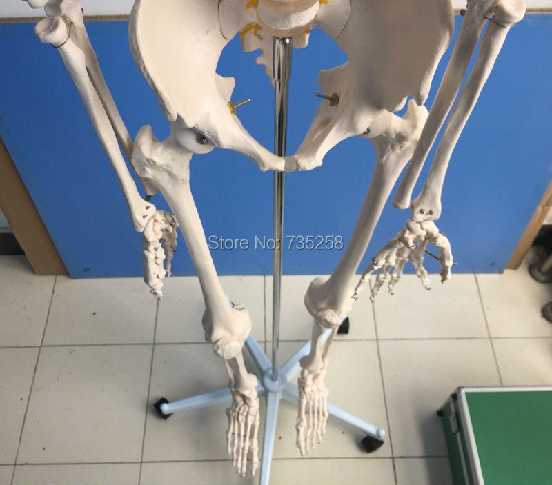esqueleto humano modelo esqueleto corpo inteiro 02