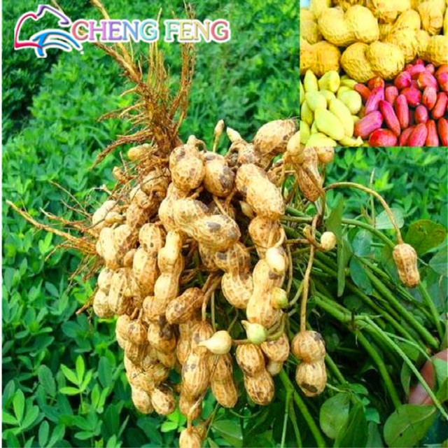 Vendita calda 10 pz piante di Arachidi Arachidi Bonsai Verdure plantas Rare Big Red Colore Della Miscela Organico Frutta Casa Giardino di Impianto