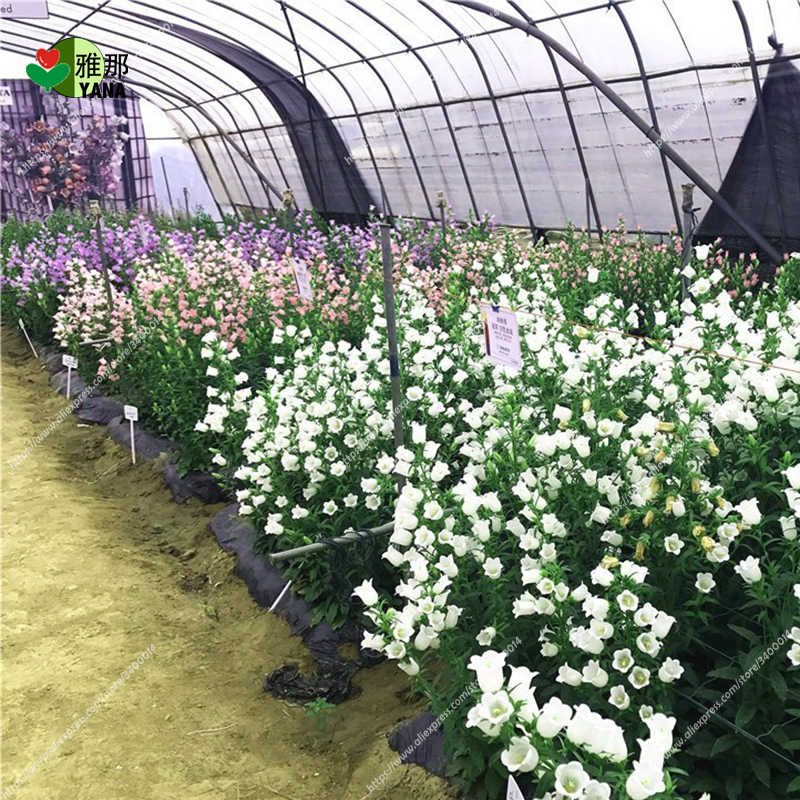 100 pcs Bellflower seeds,Bell Orchid Flower Seeds Campanula bonsai Flower seeds Convallaria Seed plant pot for home garden