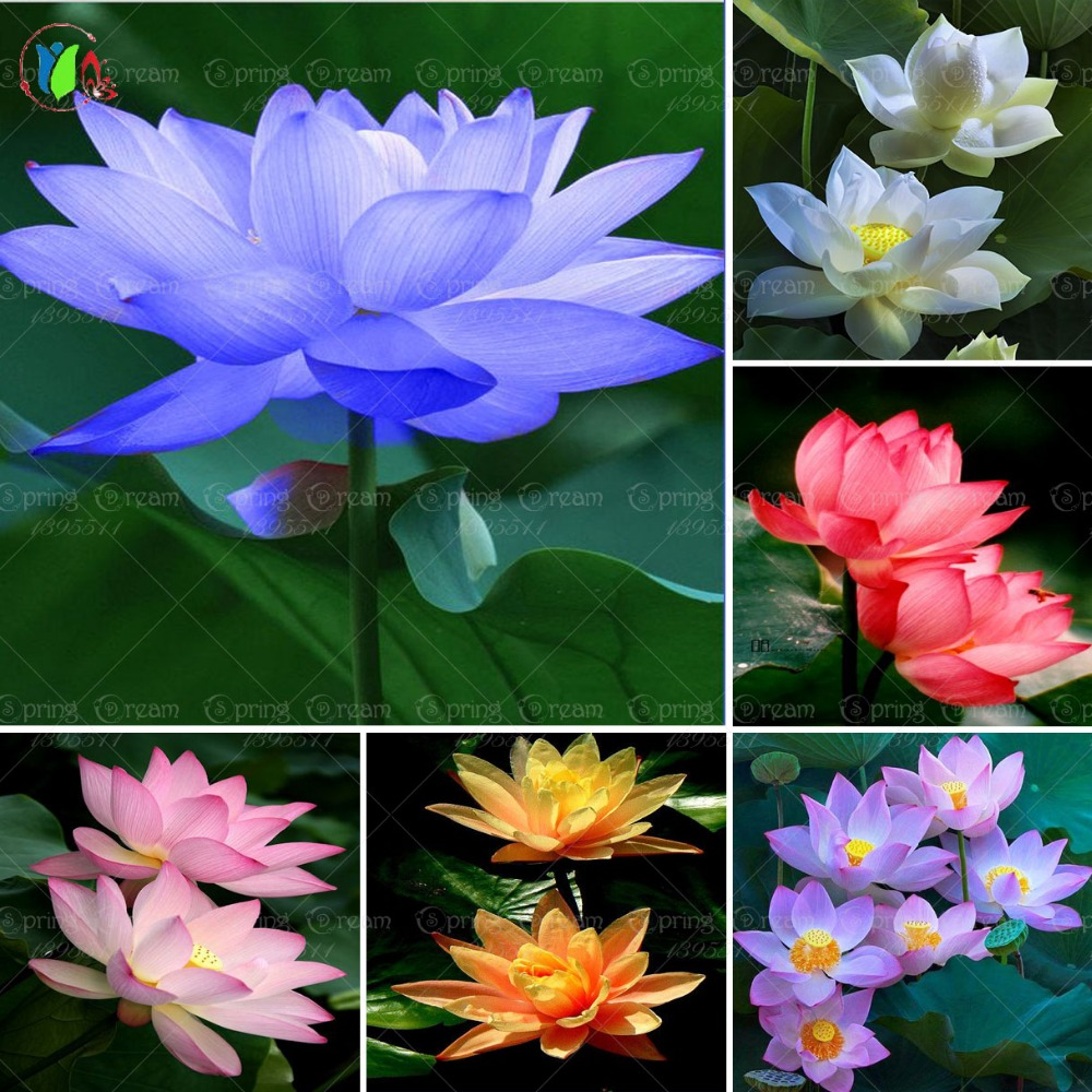 5pcsbag lotus flower lotus aquatic plants bowl lotus water bosai 5pcsbag lotus flower lotus aquatic plants bowl lotus water bosai tree perennial plant for home garden seeds in bonsai from home garden on aliexpress izmirmasajfo