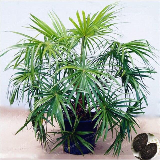 5 stücke Zierpflanze Livistona Chinensis Bonsai Hoch Immergrüner Baum Brunnen Palm Bonsai Grünen Garten Chinese Fan Palm Bonsai