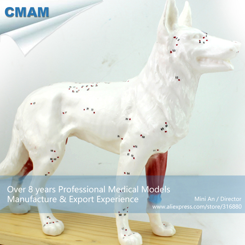 12005 CMAM-A05 Veterinarian's Dog Canine Acupuncture Model,  Medical Science Educational Teaching Anatomical Models 12338 cmam pelvis01 anatomical human pelvis model with lumbar vertebrae femur medical science educational teaching models