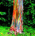 RAINBOW TREE 20 seeds (Eucalyptus deglupta) Mindanao Gum, Rare Garden Bonsai Tree Seeds