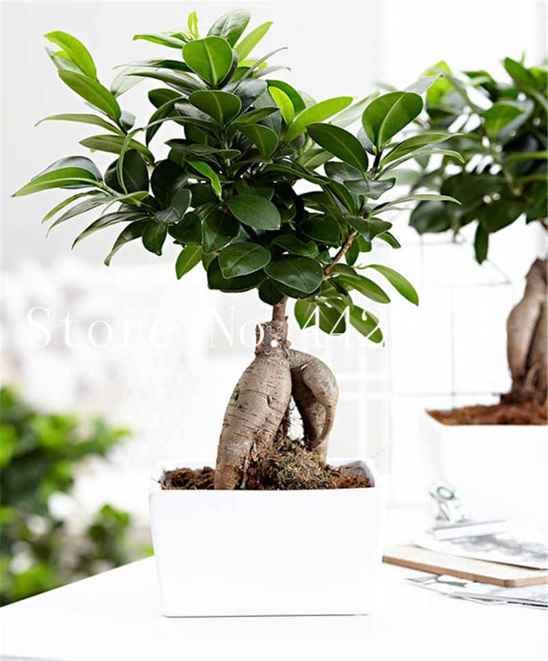 50 sztuk/worek Ficus Lyrata Bonsai drzewa, balkon doniczkowe figowiec bengalski liść Bonsai powieść rośliny, Anti-promieniowania, oczyszczania powietrza
