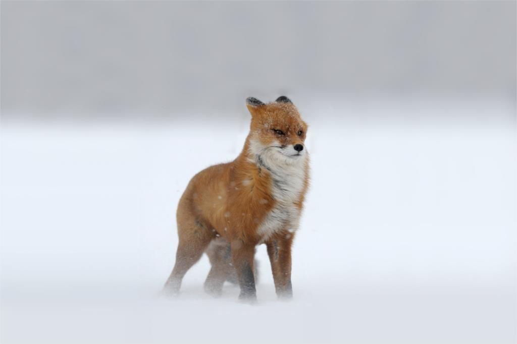 DIY marco Clever Fox animal carteles y impresiones decoración casera ...