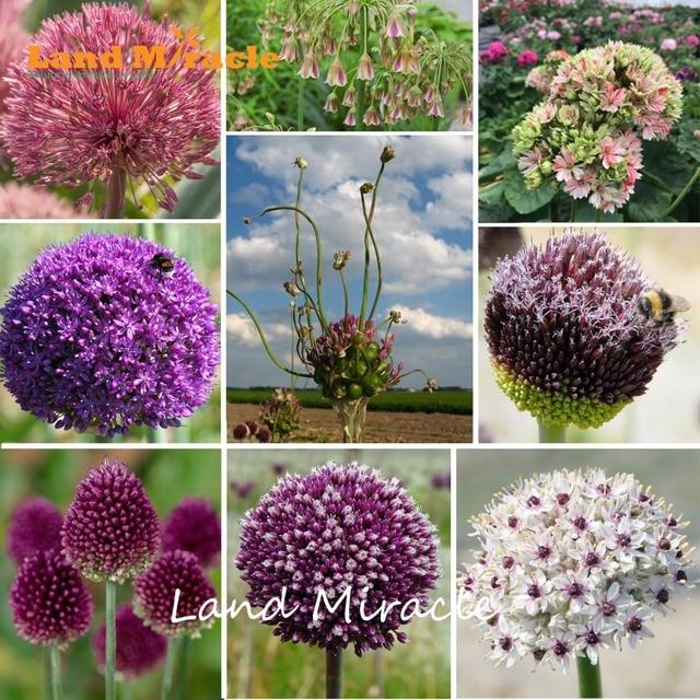 100Seeds/Pack Mixed Creative Plant Giant Onion Flower Allium Giganteum  Bonsai Plant DIY Home Garden