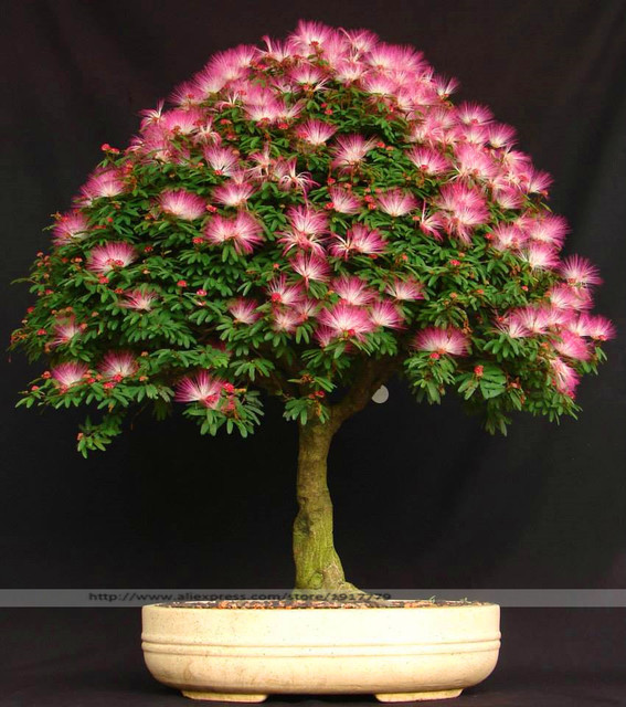 Bonsai Tree Albizia julibrissin seeds.rare flowers seeds in bonsai,30 seeds/pack indoor pink Albizia julibrissin for Home Garden