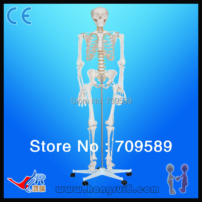 ISO High Quality Human Skeleton Model Life Size Medical 180cm Human Skeleton 3 1 human anatomical kidney structure dissection organ medical teach model school hospital hi q