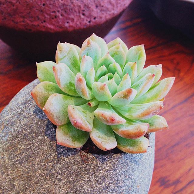 bonsai Living Stones Flower Succulent Cactus Organic