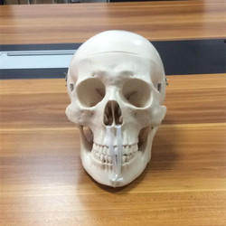 Life-Size Skull Model BIX-A1007 WBW164