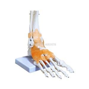 Image 5 - 23x21x11cm ludzkie 1:1 szkielet więzadło stóp kostki wspólne Anatomi cal anatomia Model nauczania medycznego