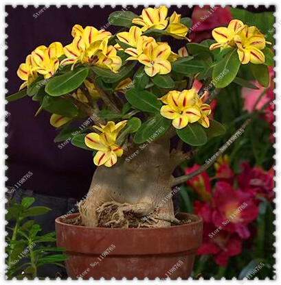 5pcs/bag Desert Rose Double Seeds Potted Adenium Obesum Flowers Seeds,bonsai plant home garden