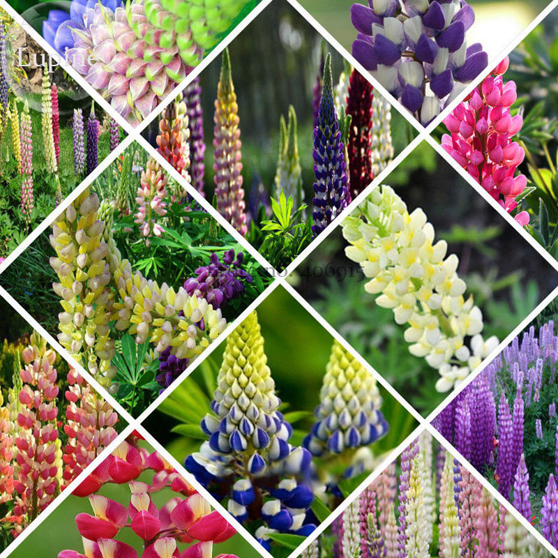 Mixed 12 Types Of Russell Lupine Dull Ice Flowers, 20 Seeds, Light Up Your