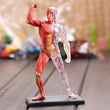 4D Assembled Human Muscle Anatomy Model Anatomical Model Medical Model Human Anatomy Transparent Body Medical Science Supply