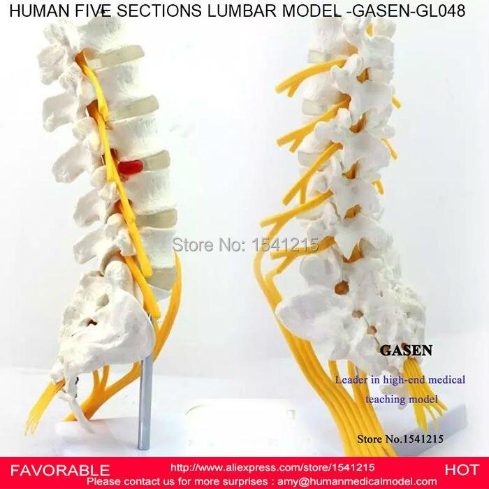 LUMBAR CAUDA EQUINA MODELLUMBAR SPINE SACRUM COCCYX SPINAL NERVE SPINE NEURAL LUMBAR SPINE MODEL SKELETON MODEL GASEN-GL048 цена