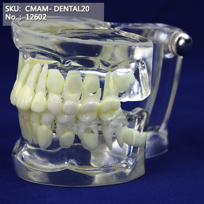 CMAM/12602 Dental- celar Children dentition, Human Oral Dental Medical Teaching Anatomical ModelCMAM/12602 Dental- celar Children dentition, Human Oral Dental Medical Teaching Anatomical Model