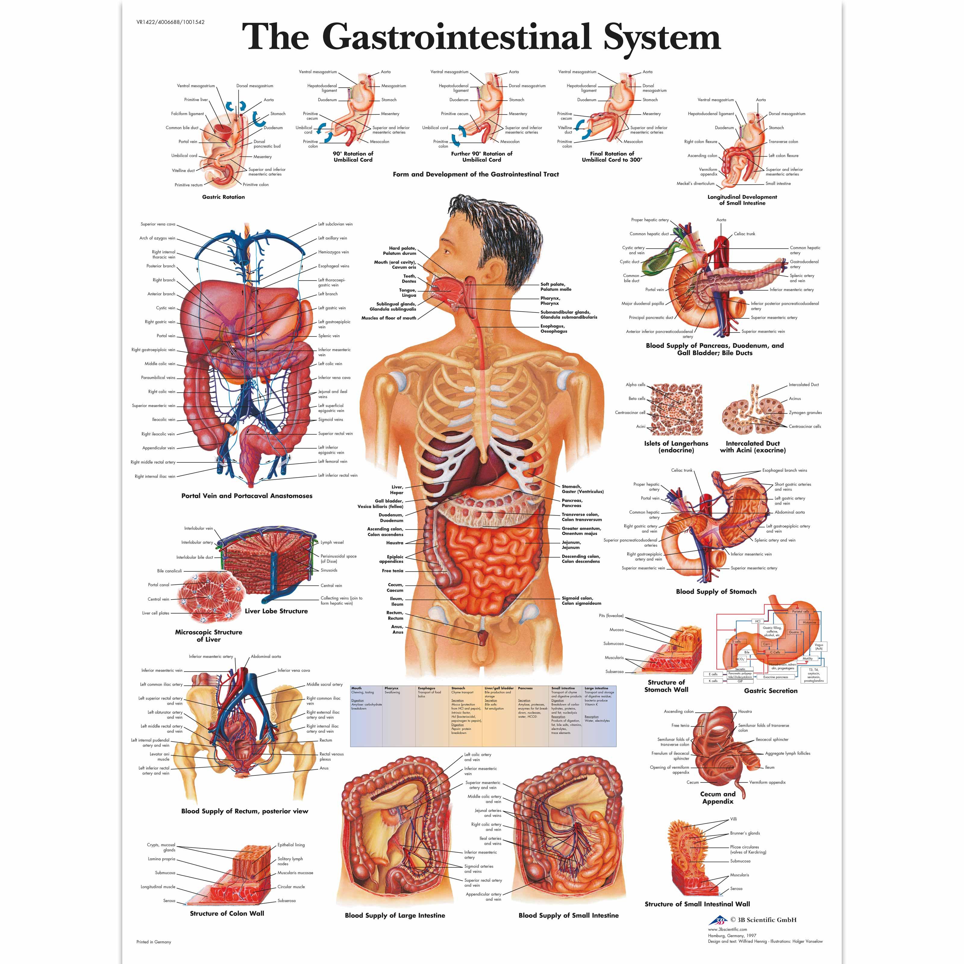 Human Organs Anatomy Skull Heart Gastrointestinal System Retro