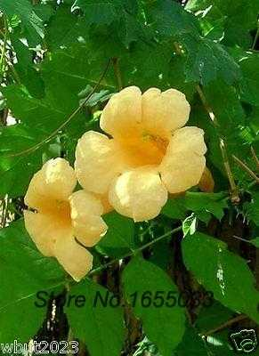 Flowers bonsai seeds yellow trumpet creeper seeds campsis radicans flowers bonsai seeds yellow trumpet creeper seeds campsis radicans flava hummingbird favorite mightylinksfo