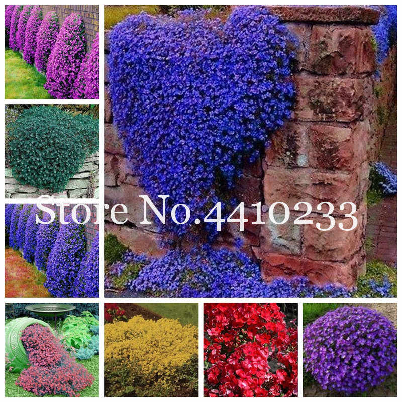 100 Pcs Aubrieta Cascade Purple Flower Bonsai,Rock Cress Plants Superb Perennial Ground Cover For Home Garden Balcony Windowsill
