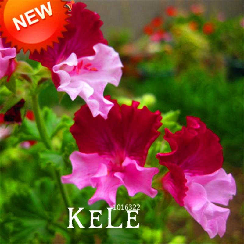 Grande Promoção! 20 Pçs/saco Cor Sementes De Gerânio, Pelargonium Graveolens Sementes de Flores perenes Flores para Quartos, # Q3CTYD