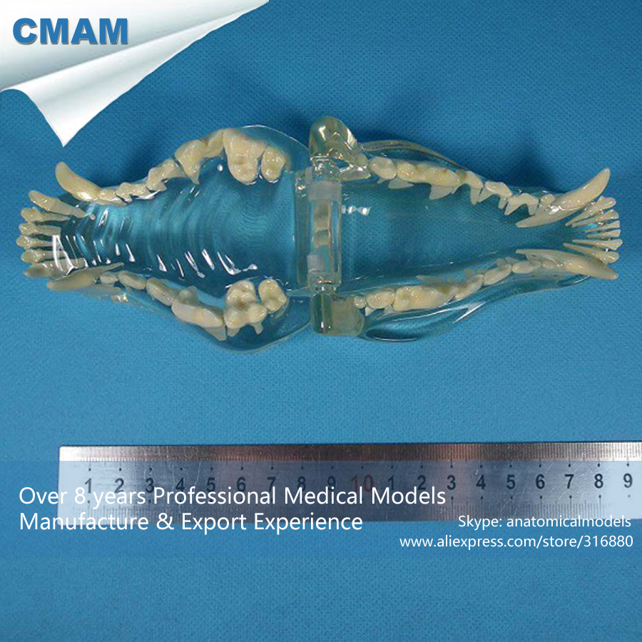 CMAM A21 Anatomical Transparent Dog Teeth Roots Model Medical ...