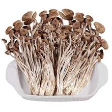 250g-500g Tea Tree Mushroom Agrocybe chaxingu Polysaccharide Enhanced immunity, anti-aging and skin whitening