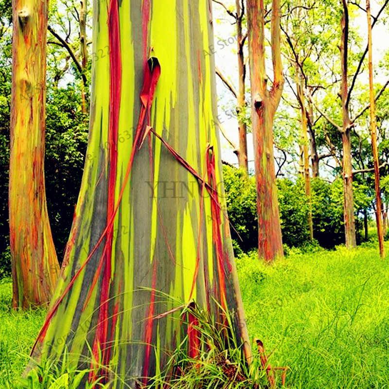 100 قطعة/الحقيبة هاواي قوس قزح الكافور شجرة ، 100% حقيقية جميلة الزينة شجرة ، سهلة تنمو
