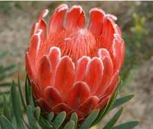 Protea Cynaroides seeds, 100pcs/pack