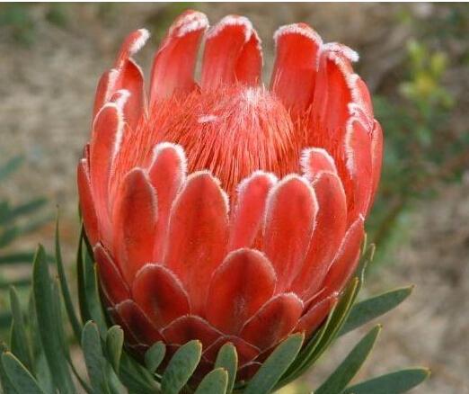 Protea Cynaroides seeds, 100pcs/pack