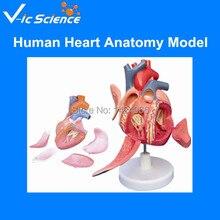 High quantity human heart anatomy model