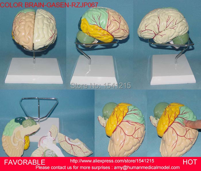 HUMAN BRAIN MODEL ,BRAIN MODELS,HUMAN HEAD ANATOMICAL MODEL BRAIN MODEL MEDICAL SCIENCE TEACHING SUPPLIES-GASEN-RZJP067 shunzaor dog ear lesion anatomical model animal model animal veterinary science medical teaching aids medical research model