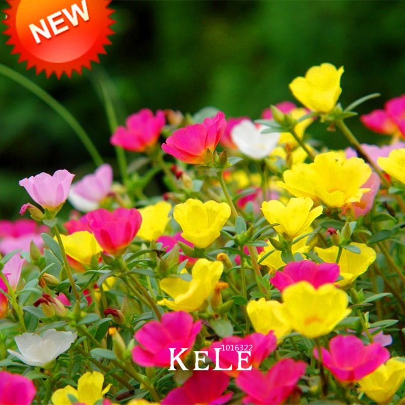 Hot Sale!200 Seed/pack Mix Sun Flower Plant Seed Flower Balcony Garden  Potted Plant Portulaca Grandiflora Flower Seeds,#RC4IF1 In Bonsai From Home  U0026 Garden ...
