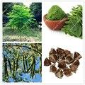 10 pçs/saco sementes de Moringa moringa moringa oleifera sementes da árvore, sementes comestíveis BAQUETA ÁRVORE bonsai vaso de plantas para jardim de casa