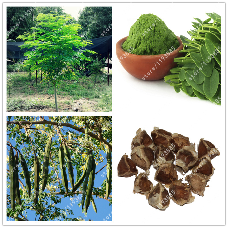 moringa oliefera Moringa oleifera lam is a tropical plant, used for centuries as food and traditional medicine the aim of this study was to develop, validate and.